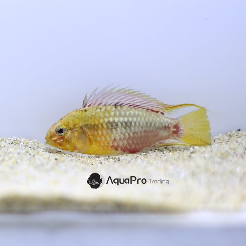 [아피스토그라마]Apistogaramma sp.Hongsloi super red
