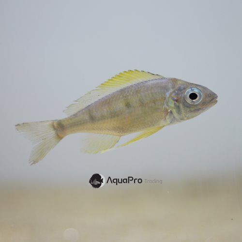 [탕어] Ophthalmotilapia nasuta gold
